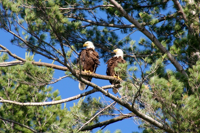 Two eagles perched on a pine branch
