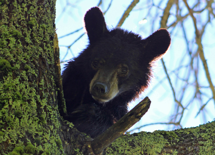 There's a bear in that tree!